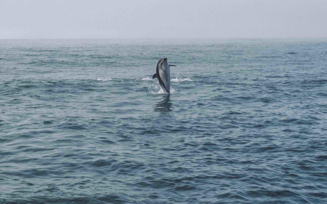 NOUVELLE ZELANDE – Nager avec les dauphins à Kaikoura